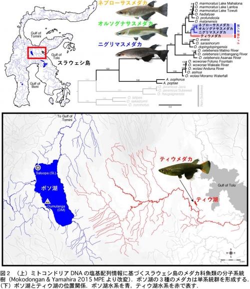 インドネシアの古代湖はメダカの進化のゆりかご ~スラウェシ島の湖で ...